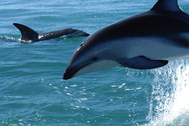 dusky-dolphin-79849_640